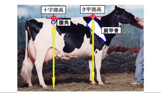 ホルスタインの 体の容積 と ショーでのインパクト とに関係する『高さ』