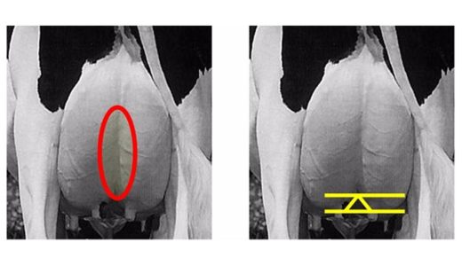 ホルスタインの乳房の耐久性に影響する『中央懸垂靭帯』