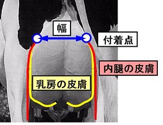 ホルスタインの乳房容積に直結する『後乳房の幅』