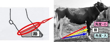 ホルスタインの運動機能に関係する『蹄の角度』