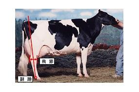 ホルスタイン(乳牛)の体型の覚え方