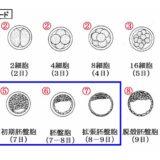 牛の受精卵移植の注意点 ③受精卵の発生ステージコード