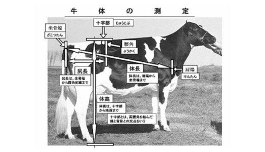 ホルスタインの牛体の測定