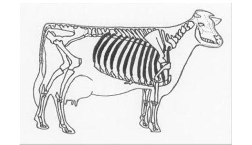 ホルスタインの骨格 ②肋骨は何本?