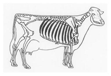 ホルスタインの骨格 ②肋骨は何本